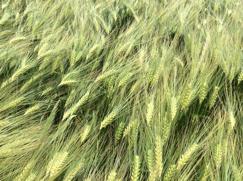 Grain01-m